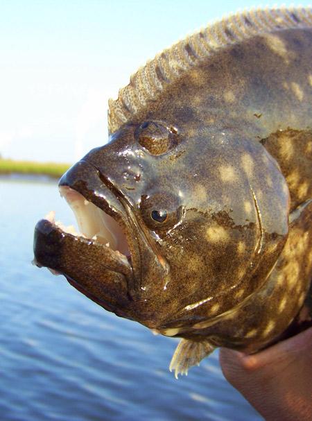 FlounderHead450x360.JaxSite